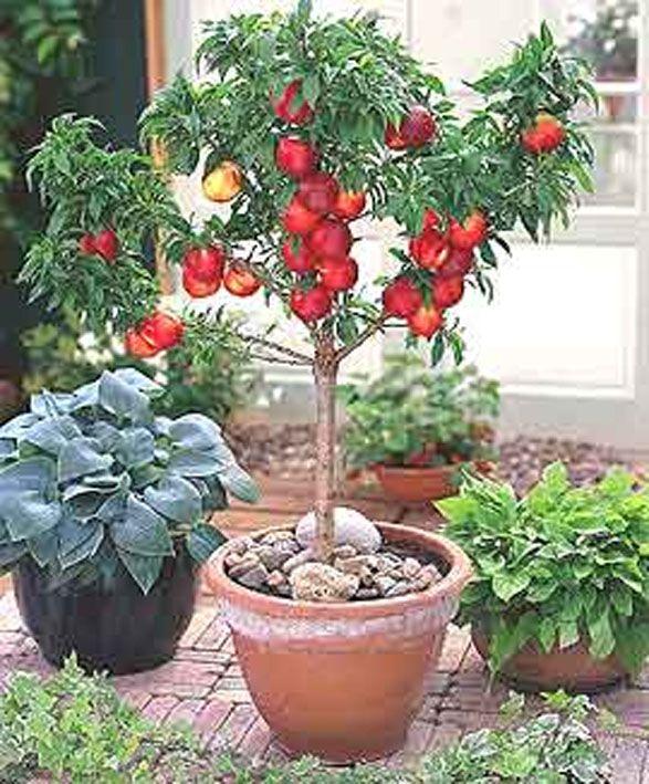Petites annonces liste d 39 envies for Cerisier nain garden bing