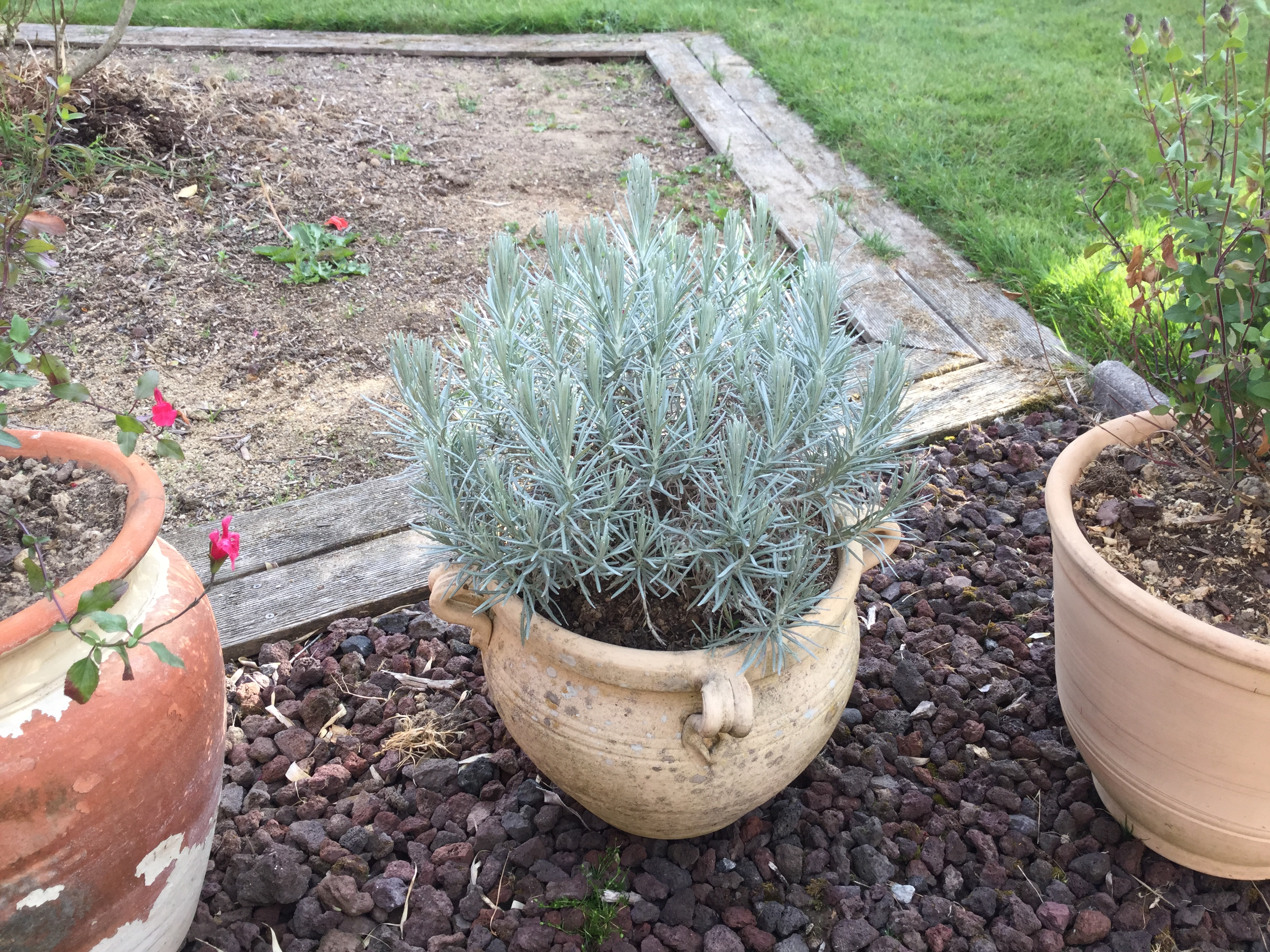 Plante au curry helichrysum italicum for Plante curry