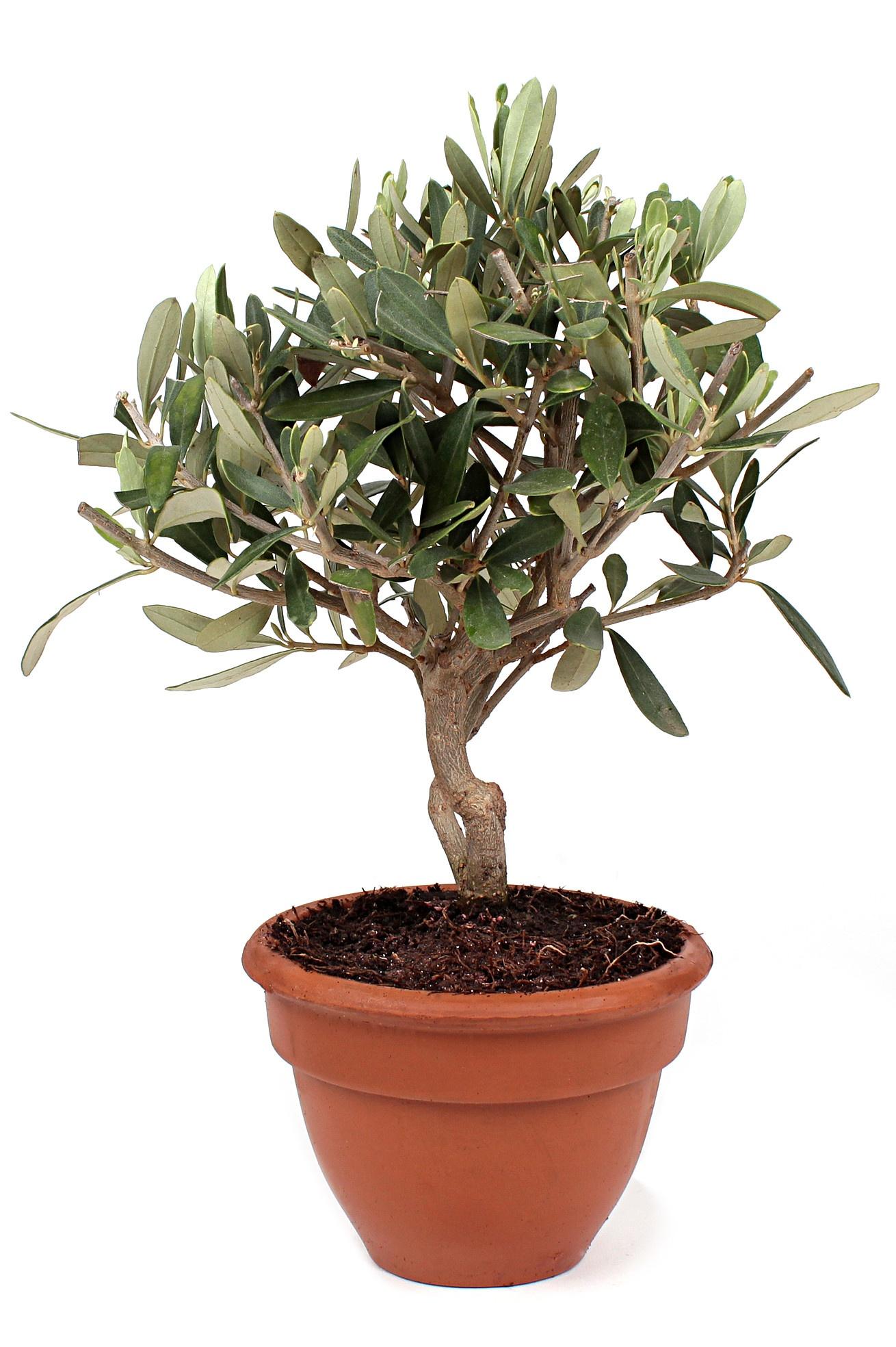 tailler un citronnier en pot la culture de l 39 olivier de provence en pot mon olivier. Black Bedroom Furniture Sets. Home Design Ideas